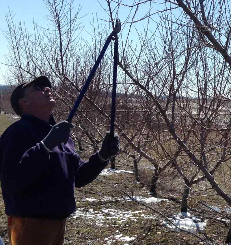 Pruning peaches in March