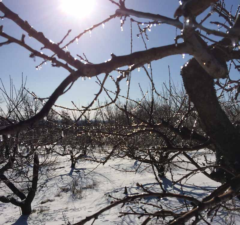 Icicles on peach branches
