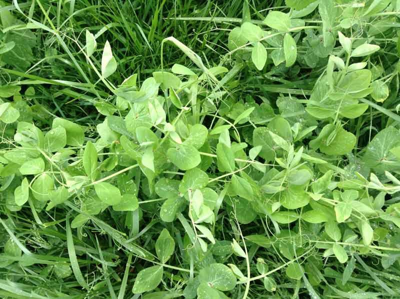 Cover crop of Austrian winter peas