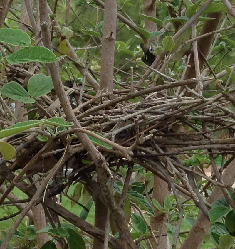 Bluejay nest in viburnum
