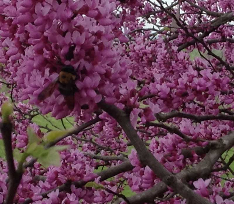 Foraging bumblebee in redbud blossoms
